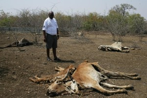 Limpopo farmers desperate for relief as cattle succumb to drought. Photo: ANA