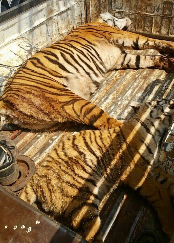 Outrage over gruesome killing of lions and tigers - Limpopo - Image - CICA SA