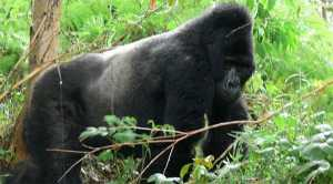 Mountain Gorillas of the Bwindi Impenetrable National Park in Uganda