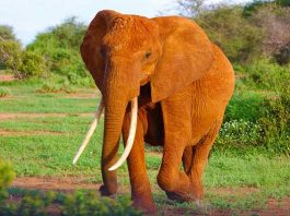Trophy hunters in Timbavati must not be allowed to target a tusker