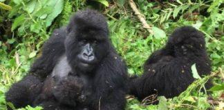 Uganda, Meeting with The Last Mountain Gorillas