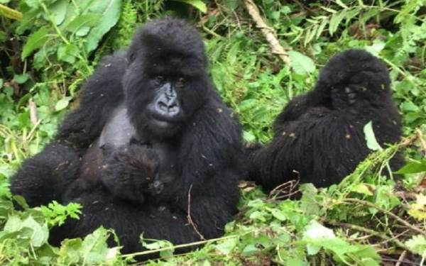 Uganda, Meeting with The Last Mountain Gorillas