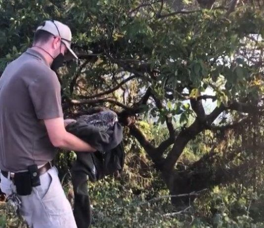 Crocworld Conservation Centre's successful release of juvenile Spotted Eagle Owl