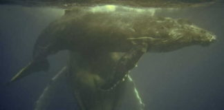John Miller, of Shark Cage Diving KZN, swimming alongside a humpback whale mother and her calf.