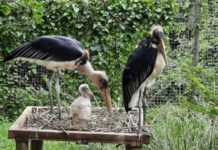 Stork brings double surprise to Crocworld Conservation Centre