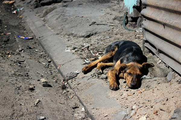 township-dog
