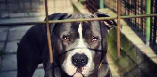 black-pit-bull-dog