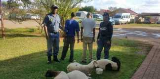 Roodepan-stolen-sheep-recovered