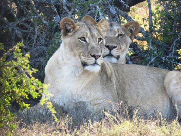 The two lionesses from Kuzuko who will hopefully become Sylvester's companions. Photo: Supplied