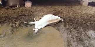 Dead-cow-in-Hingonia-Gaushala-India