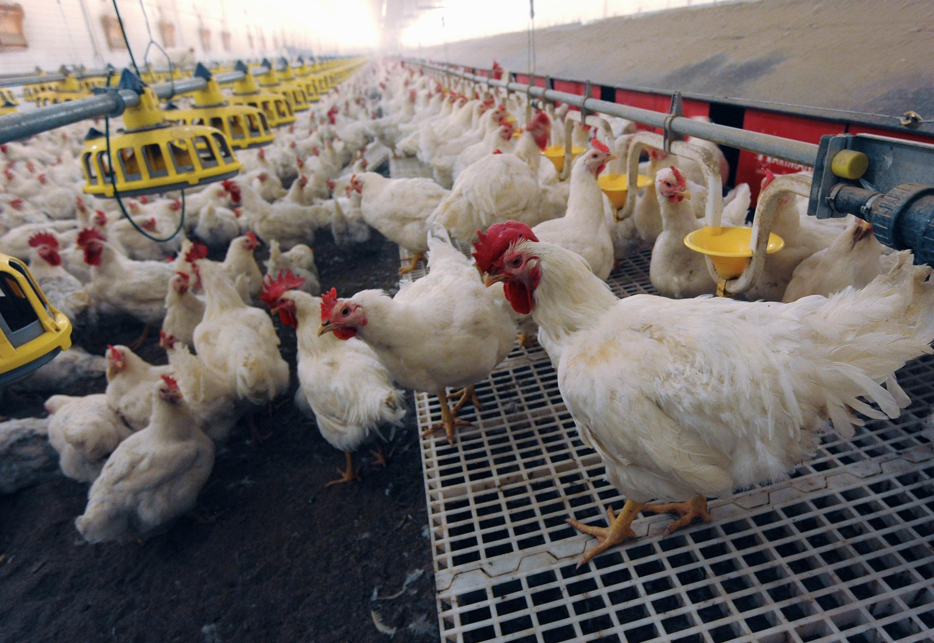 The Nagaibaksky poultry-breeding facility in the Chelyabinsk Region
