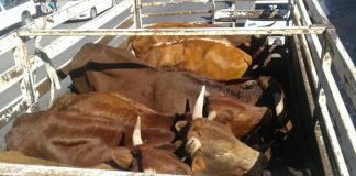 13 suspected stolen cattle were recovered Photo : SAPS