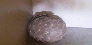 Arrests for possession of protected species, Pangolin. Photo : SAPS