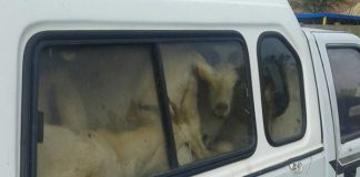 Two suspects arrested for stock theft