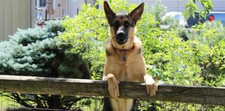 K9 sniff out burglary suspect after car chase, Cloetesville