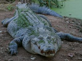 5 crocodile hunters remanded in custody, Barberton