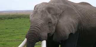 4 arrested with elephant tusks, Olifantshoek