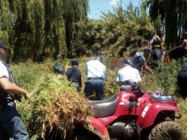 3000 dagga plants destroyed and R600k dagga recovered, Muldersdrift. Photo: SAPS