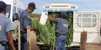 Arrests after 2 dagga plantations discovered, Kuruman. Photo: SAPS