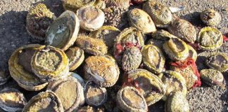 R1.11 million worth of abalone recovered, Khayelitsha