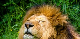 White lion poisoned, paws and head cut off, 2 arrested, Louis Trichardt