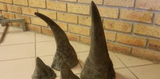 Man arrested with four rhino horns, Kaapmuiden. Photo: SAPS
