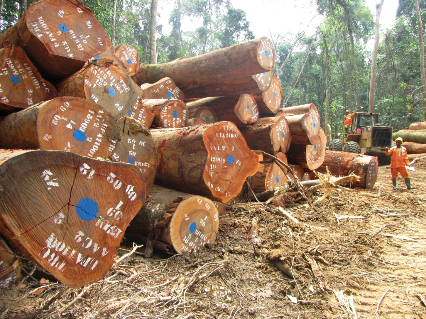 Certified logs marked for export from a concession in Cameroon.