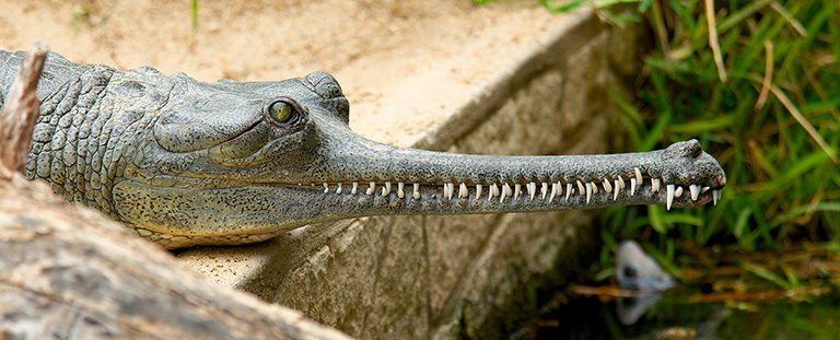 The Gharial crocodile (Gavialis gangeticus) uses its slim snout for fishing. Photo by: Josh More courtesy of ZSL.