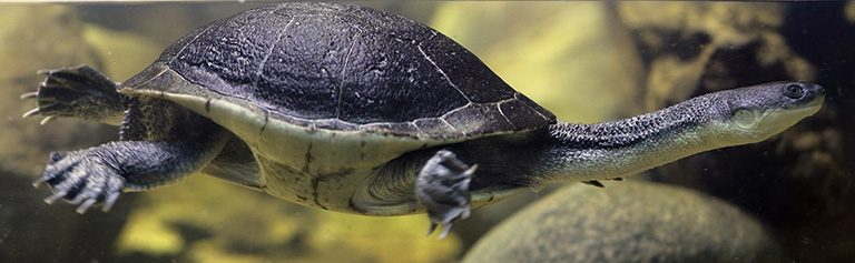 The Roti Island snake-necked turtle (Chelodina mccordi) is still hunted for food and is among the 15 most endangered turtles in the world. Photo by: Daniel Kane courtesy of ZSL.