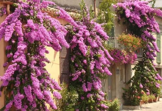 Simple Landscaping Makes Your Landscape Straightforward And Clear-cut - bougainvillea