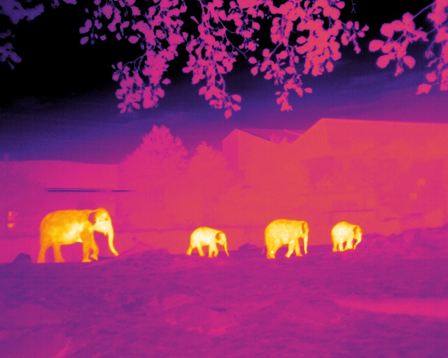 A thermal-infrared image of elephants at the Chester Zoo in the U.K. Their ears cool down before the rest of the body and display as purple in this thermal-infrared image.