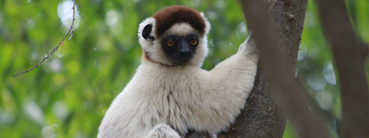 """Sifaka lemurs listed as """"critically endangered"""" amid mysterious die-off 