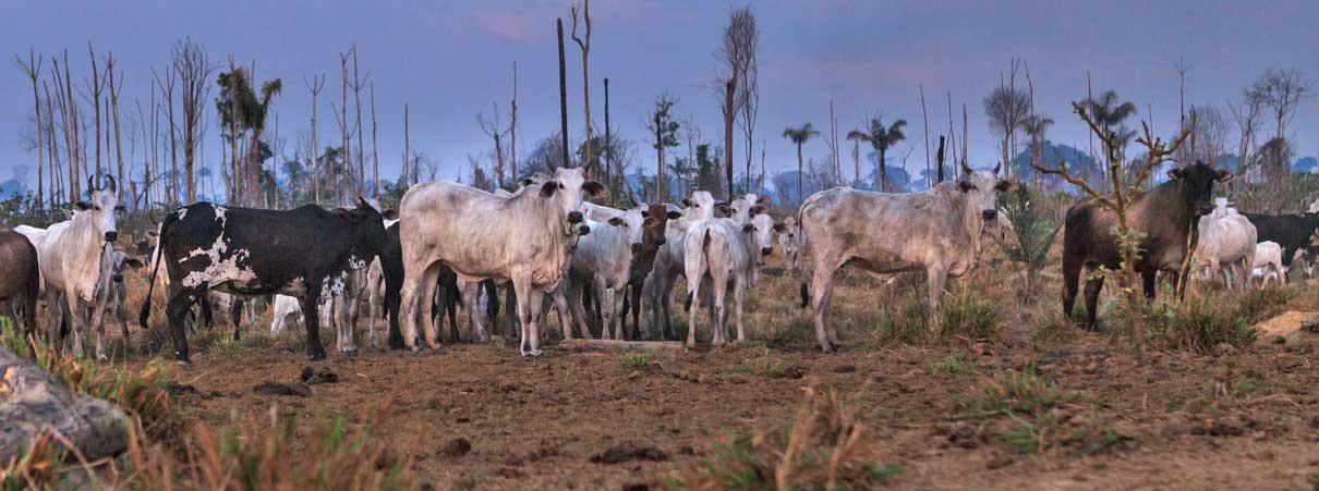 New Film Shines Light On Cattle Industry Link To Amazon
