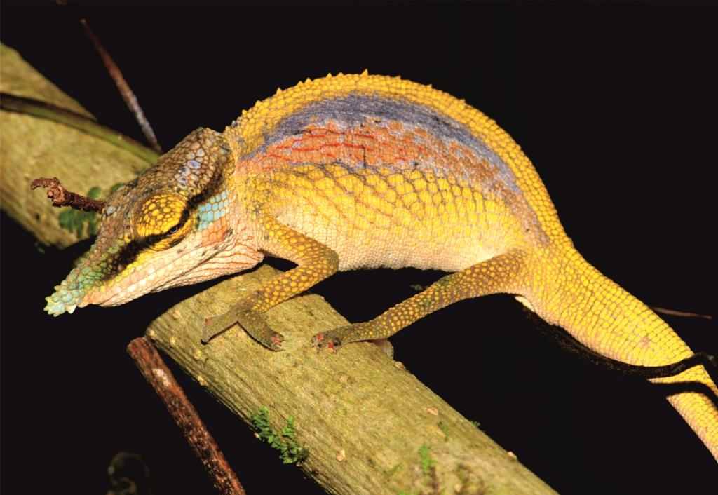 'Rainbow' chameleon among three new species described from Madagascar   South Africa Today