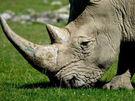 2 of the 3 rhino poachers arrested, on bail for serious crimes