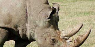 Trafficking of rhino horns, couple arrested, Acornhoek
