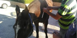 Police horses attacked by pitbull dog. Photo: SAPS