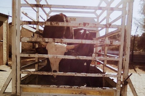 Stock theft of cattle, 3 arrested, Pampierstad. Photo: SAPS