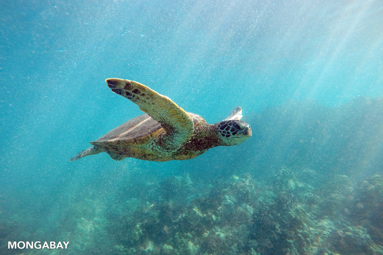 Green sea turtle. Photo by Rhett A. Butler.