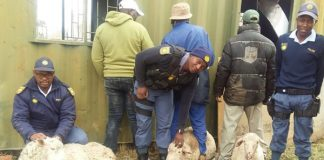 Stock theft, sheep recovered, 3 arrested, Rouxville. Photo: SAPS