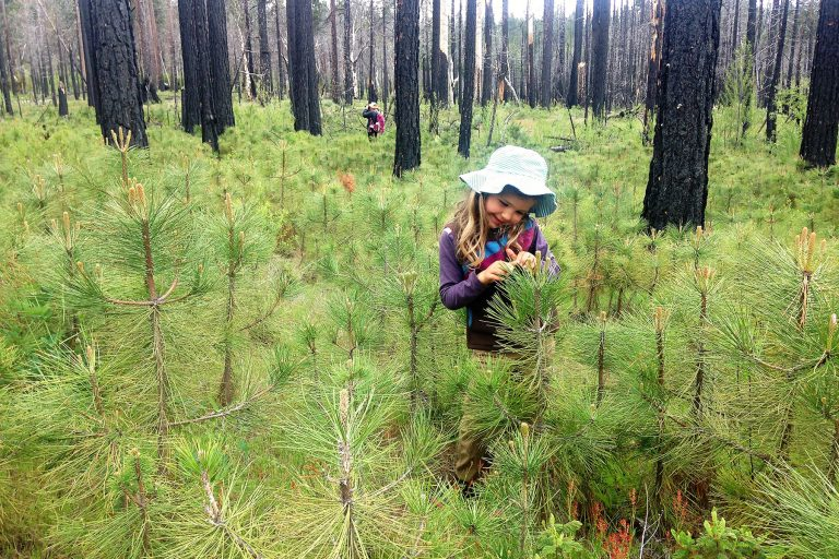 Five years after the Rim Fire, abundant natural tree regeneration in the high-severity patches is contributing to carbon sequestration. Photo by Doug Bevington.