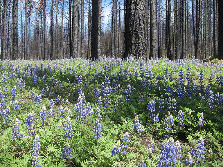 """High-severity patches within wildfires create """"snag forests"""" with lots of snags (dead trees) and wildflowers that provide excellent habitat for wildlife. Photo by Doug Bevington."""