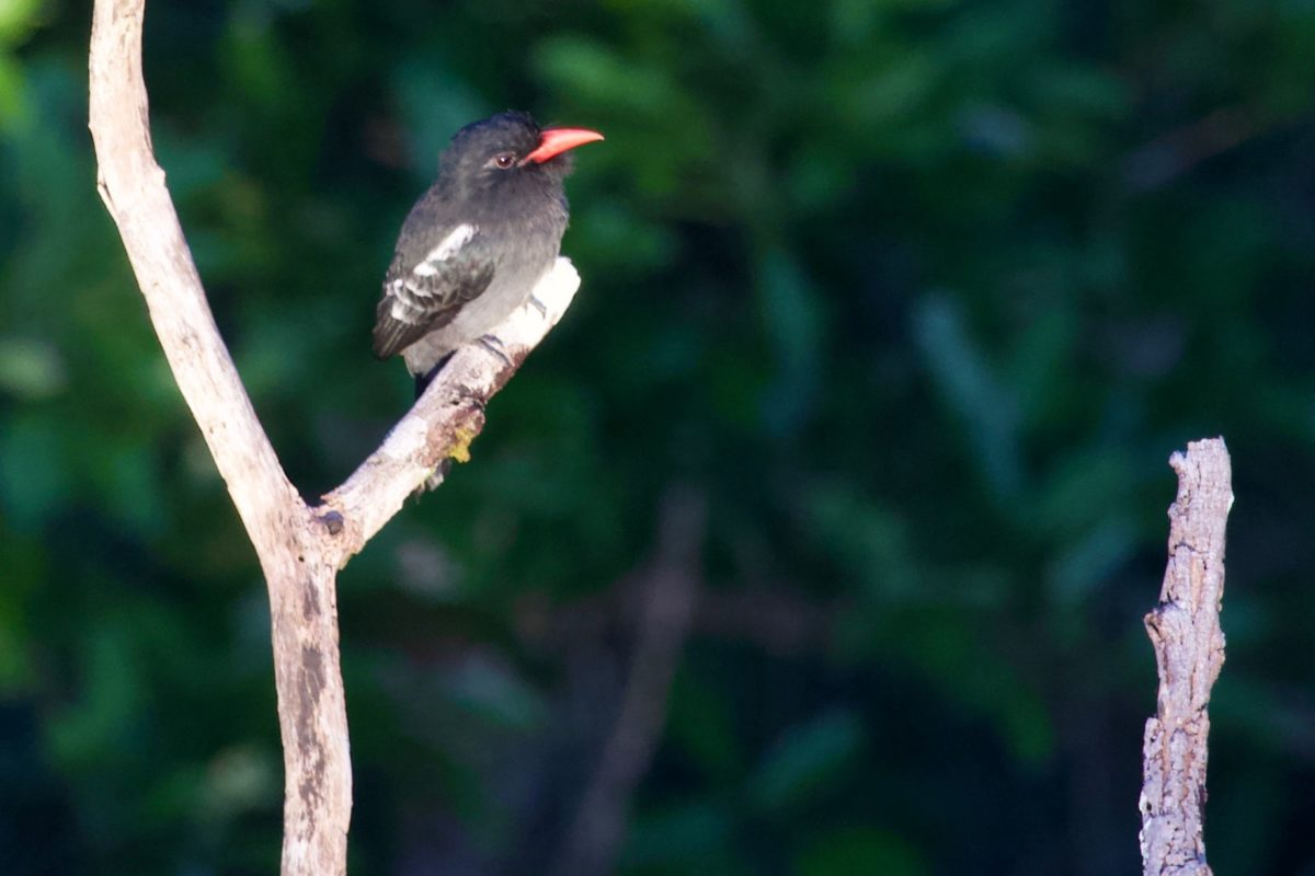 The Black Nunbird (Monasa atra) is endemic to the Guiana Shield and is replaced by a closely related species across the lower Rio Negro. Image Credit: Luciano N Naka.