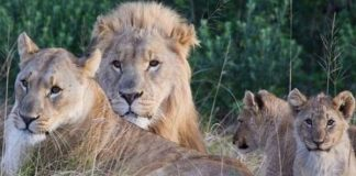 Three lions killed, heads and paws cut off two, Tzaneen. Photo: SAPS