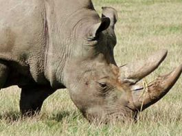 Two arrested after Hawks seize R7 million worth of rhino horns
