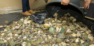 Abalone worth R1 Million seized in Burgundy Estate. Photo: SAPS