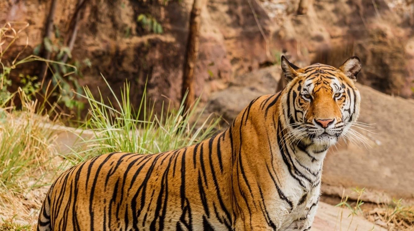 Tiger Wiki