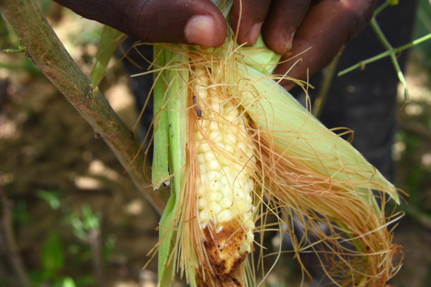 The damage to a maize crop by the fall armyworm can devastate small-scale farmers, such as this one in Ethiopia.