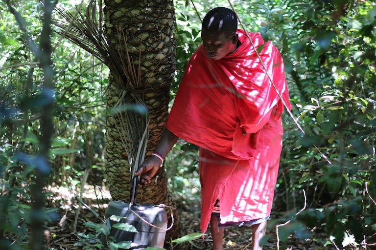 Mwenda Mshindano collects water from a tree in the Kaya Kauma forest. Image by Sophie Mbugua for Mongabay.