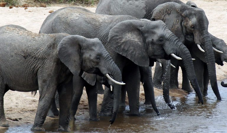 African elephants in Kruger National Park, South Africa. Photo by Rhett A. Butler.